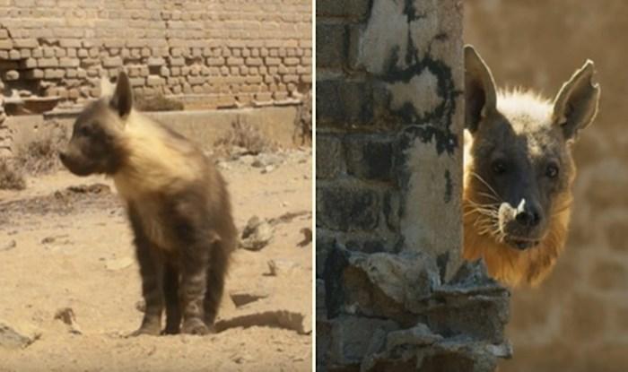 VIDEO Napušteni grad u Namibiji naselili su najrjeđi afrički predatori