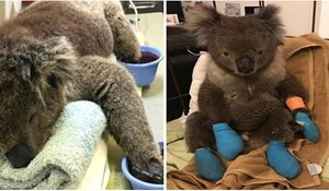 Ova preslatka koala spašena od požara dobila je novu šansu