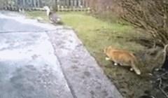 Mačka se spremala uloviti gusku, ali joj je planove pomrsilo šokantno iznenađenje