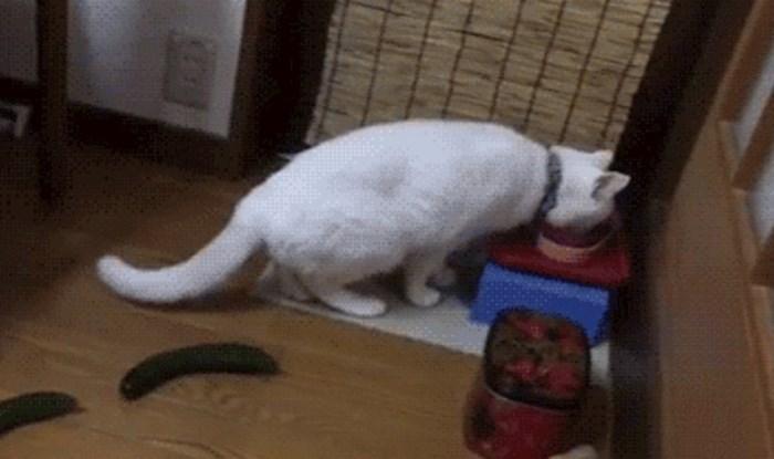 Plakat ćete od smijeha kad vidite kako je mačka reagirala na krastavac
