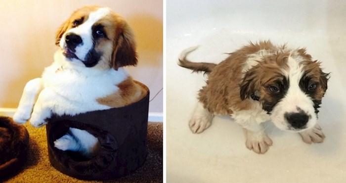19 smiješnih fotki pasa prije i poslije kupanja
