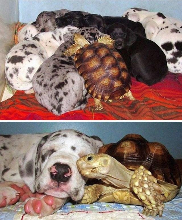 23. Ma kako se kornjača našla ovdje? Kako god, sad je član čopora. :)