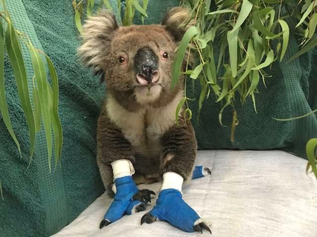 Potpuno posebna koala.