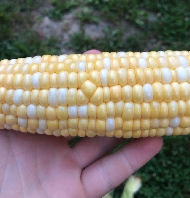 3. Jedno zrno kukuruza ruši savršeni sklad.