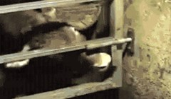Krava koja je s lakoćom otvorila vrata štale zadivila je internet