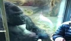 Video od milijun pogleda, morate vidjeti kako gorila pomaže čovjeku odabrati partnericu za spoj