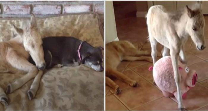 VIDEO Preslatka mini kobila Luna odrasla je u kućni punoj pasa