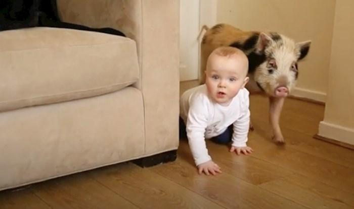 VIDEO 13-mjesečnom dječaku ostvarili su se snovi, dobio je pravu svinjicu Peppu