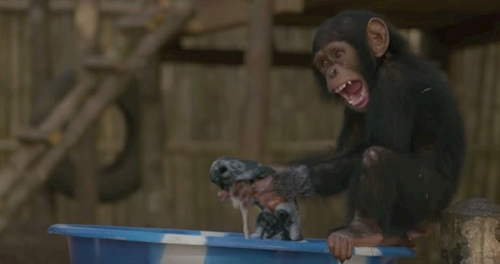 VIDEO Luckaste bebe čimpanze obožavaju se igrati s mjehurićima