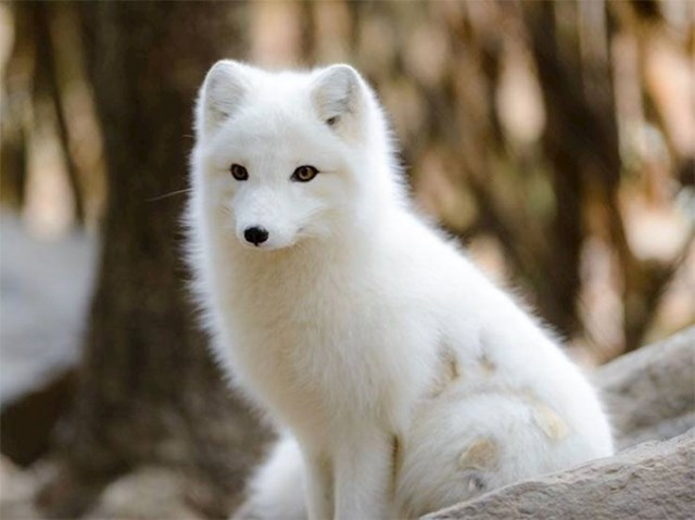 7. Na Islandu žive preslatke arktičke lisice.