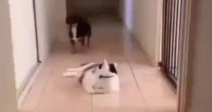 Zna se tko je šefica, siroti pas od straha jedva prolazi pored strašne mačke