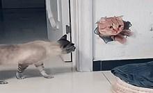 Zbunjena mačka ne zna kako da reagira na podvalu koju su joj priredili vlasnici