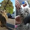 VIDEO Frizura čini čuda - pogledajte nevjerojatnu transformaciju čupavog psa spašenog s ulice