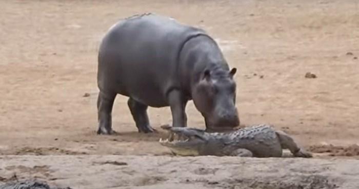 VIDEO Luckasti nilski konj ne može prestati zezati jednog krokodila