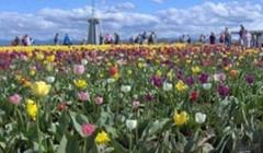 Klincu je bilo dosadno razgledavati tulipane, pa se odlučio zabaviti nečim odvratnim