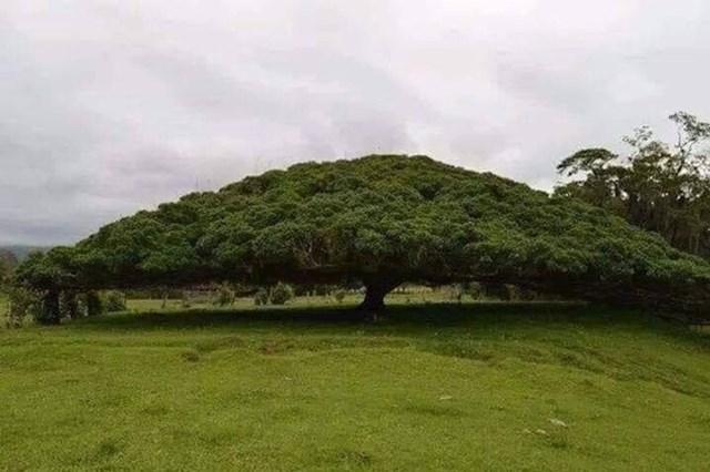 Čarobna krošnja stabla.