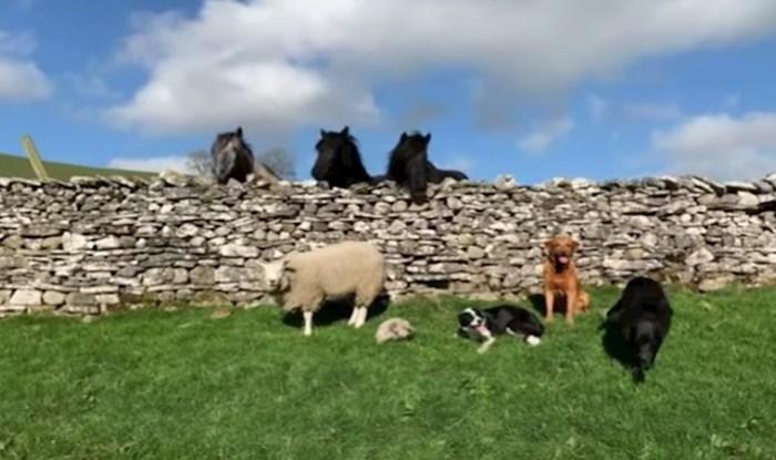 VIDEO Vesela ovca živi svoj život na farmi misleći da je pas