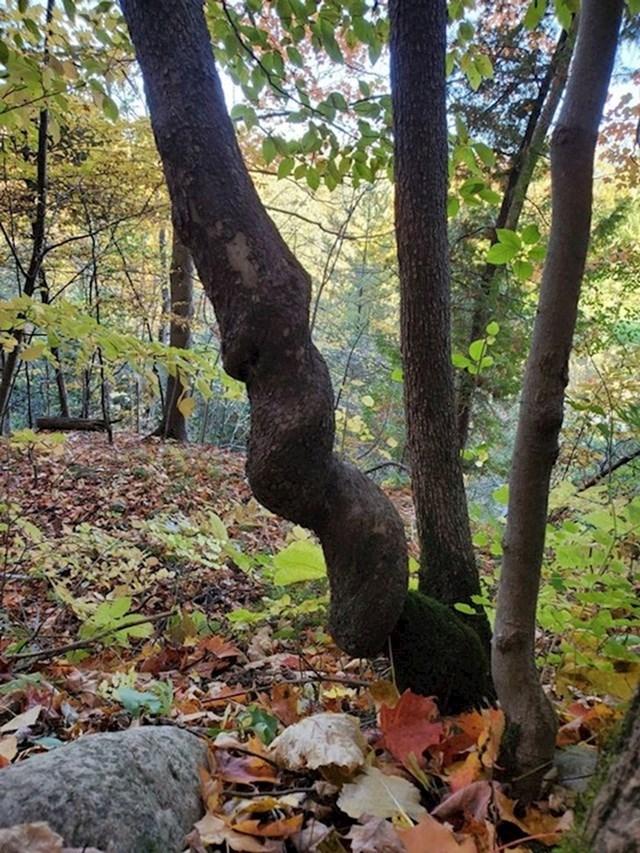 Spiralno stablo.