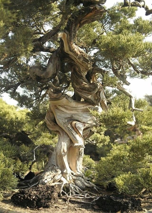 5. Da je ovo stablo čovjek, moglo bi ispričati vrlo zanimljivu priču o svom životu