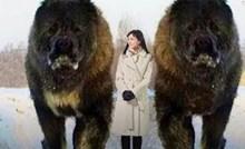VIDEO 15 najvećih pasa čuvara na svijetu