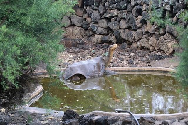 Diego je bio jedan od zadnja tri mužjaka svoje vrste.