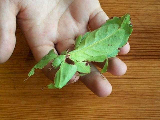 Ovo nije list, nego kukac.