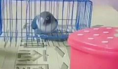 Iznenadit ćete se kad vidite zbog čega je ova papiga izašla iz kaveza