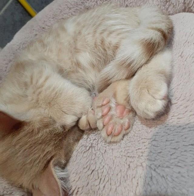 8. Maca sa sedam prstiju na šapama.