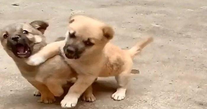 Hrabri štenac zaštitio je svojeg naivnog brata od opasnog stvorenja