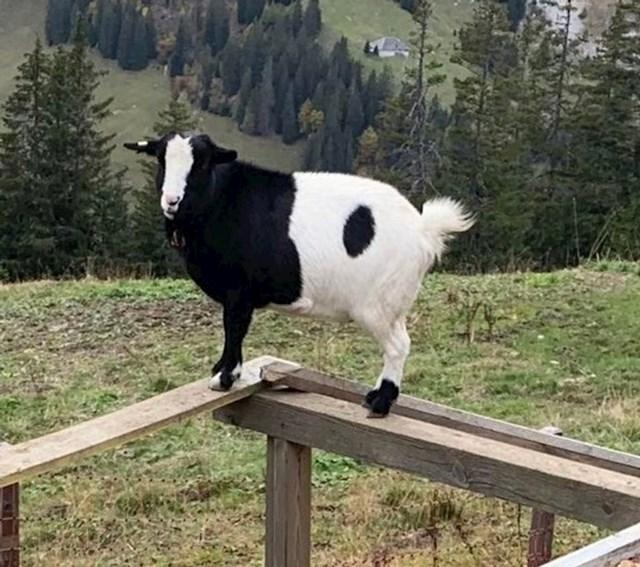 Koza u bojama ying-yang simbola.