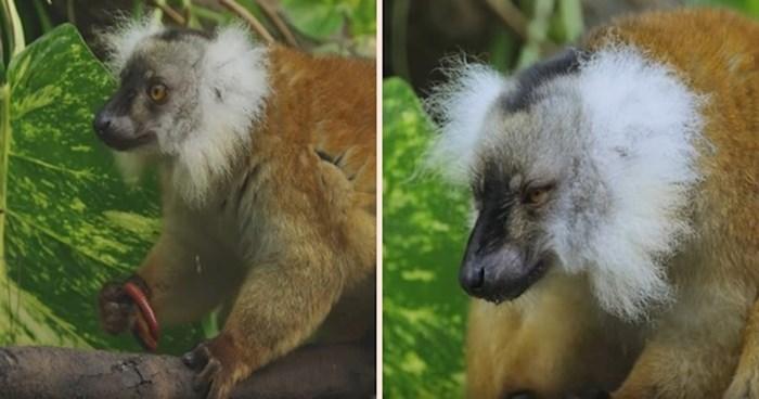 VIDEO Jeste li znali da se lemuri 'drogiraju' otrovnim stonogama?