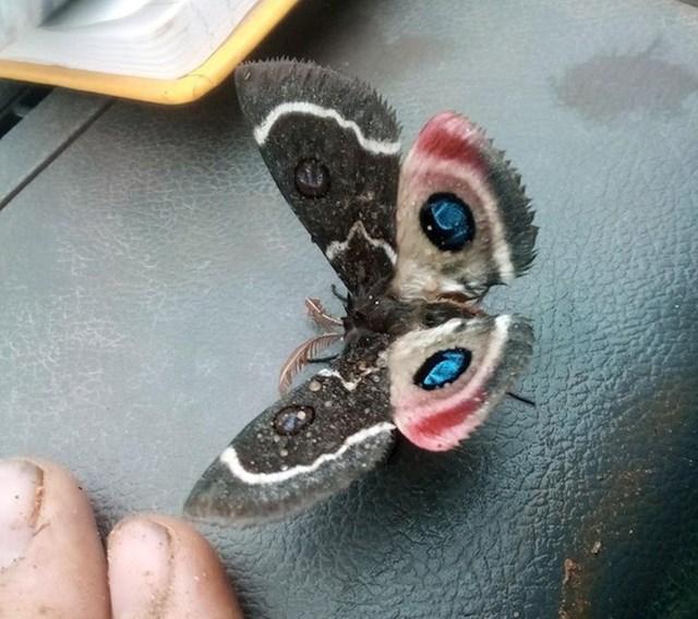 Leptir koji je pola crno bijeli, a pola u boji.