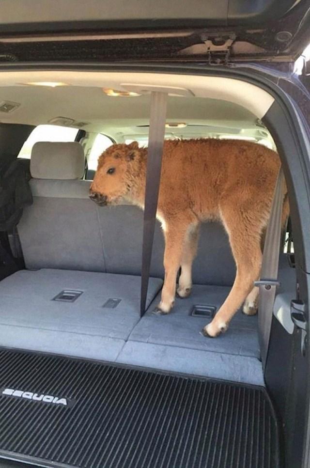 """#9 Ovaj mali bizon iz Yellowstonea morao je biti eutanaziran nakon što su ga turisti stavili u svoj auto kako bi ga """"utoplili"""""""