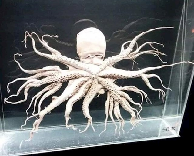 Hobotnica koja ima maaaalo previše krakova.