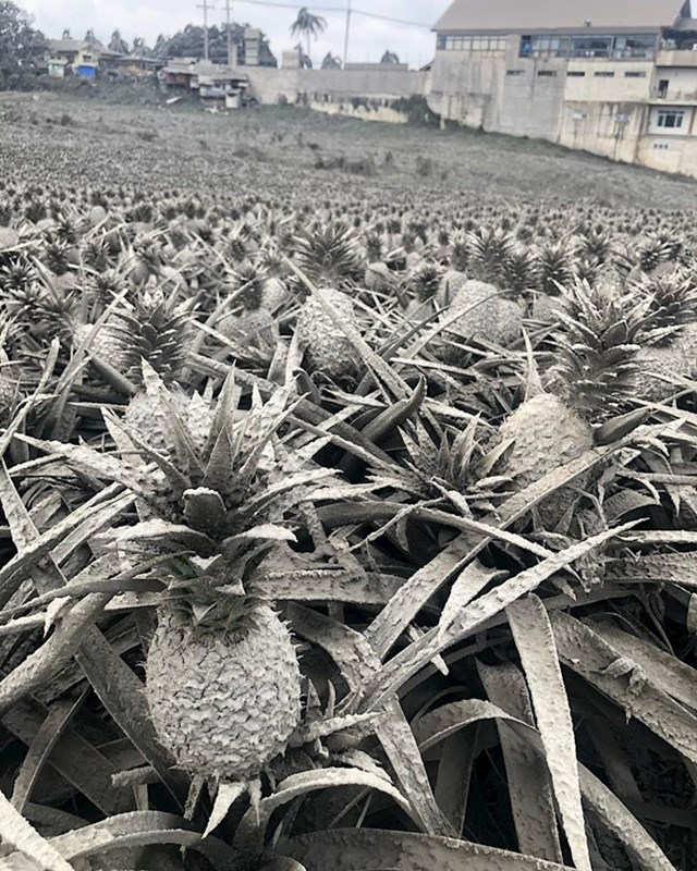 16. Ovo nije crno bijela fotka. Ovako su izgledali ananasi nakon erupcije vulkana na Filipinima.