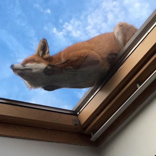 10. Lisica odmara na prozoru.