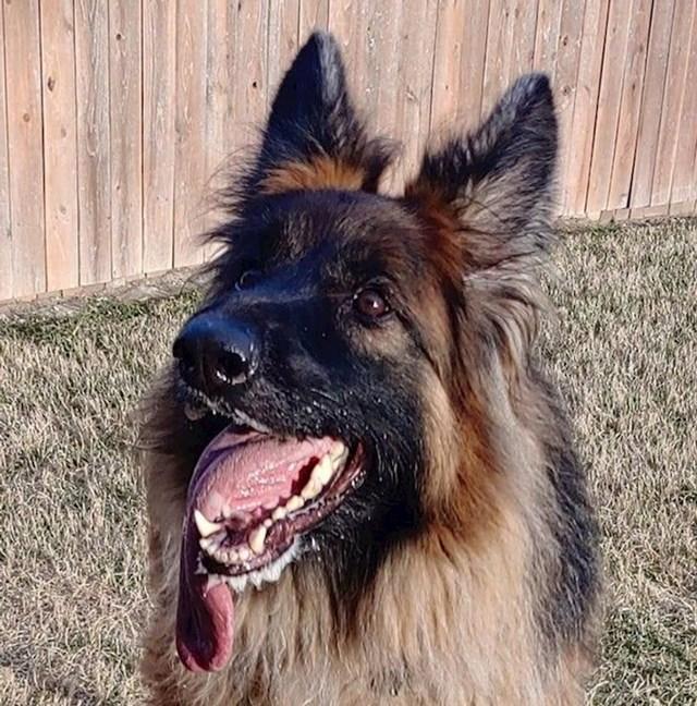 Pas koji ima neobično dugačak jezik