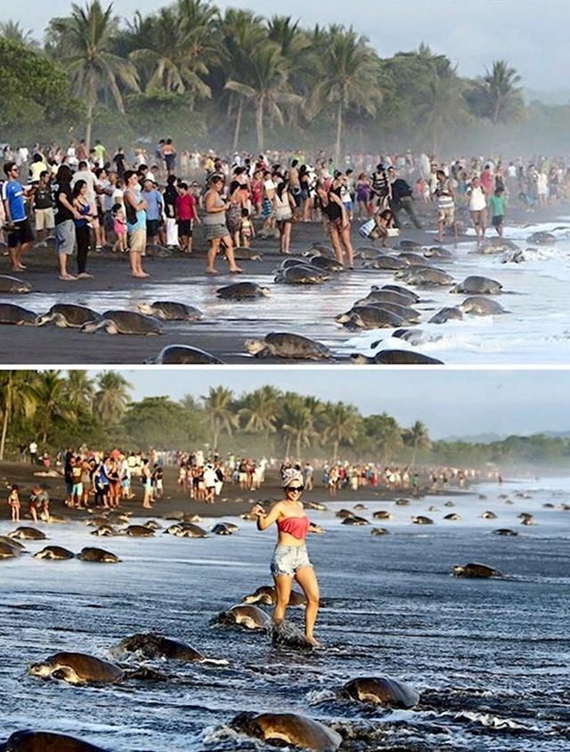 #4 Horda turista uplašila je morske kornjače i spriječila ih u gniježđenju na plaži u Kostariki