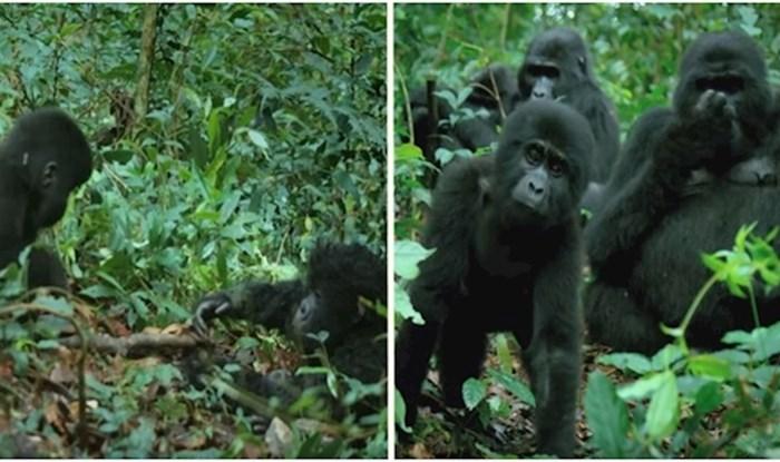 VIDEO Stavili robota špijuna među gorile, ono što su one napravile je predivno