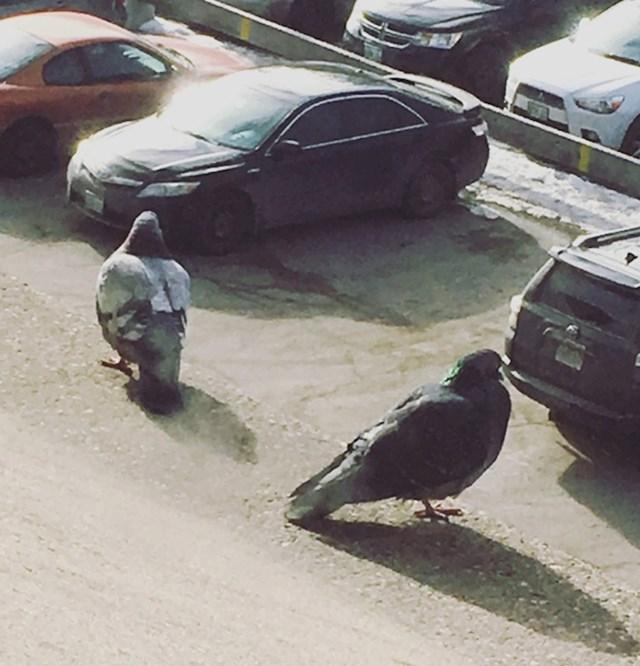 3. Dva golema goluba promatraju automobile.