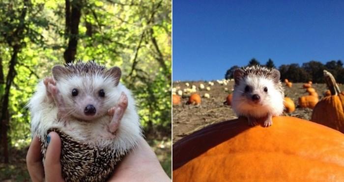 Ovo je Biddy, maleni ježić koji obožava avanture i istraživanja