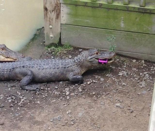 1. Djevojčici je ispao mobitel u Zoološkom, a odmah ga je zgrabio jedan krokodil. Vjerojatno ga neće dobiti natrag...