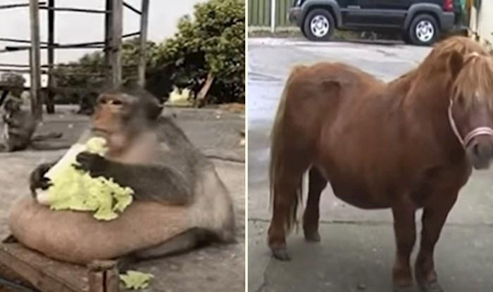 VIDEO 10 bucmastih životinja koje ne mogu prestati jesti