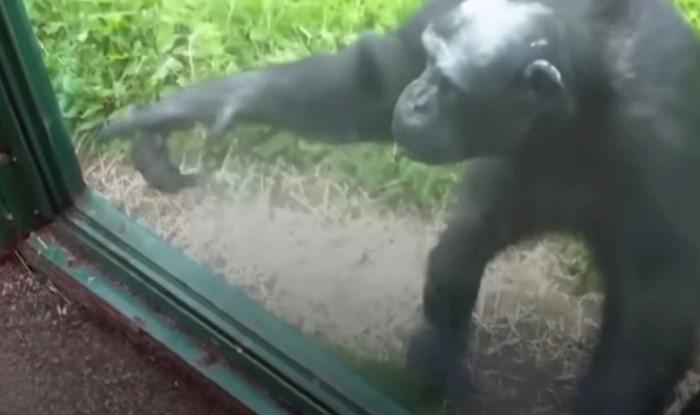 VIDEO Čimpanza iz zoološkog vrta na nevjerojatan način objasnila je ljudima da želi njihovo piće
