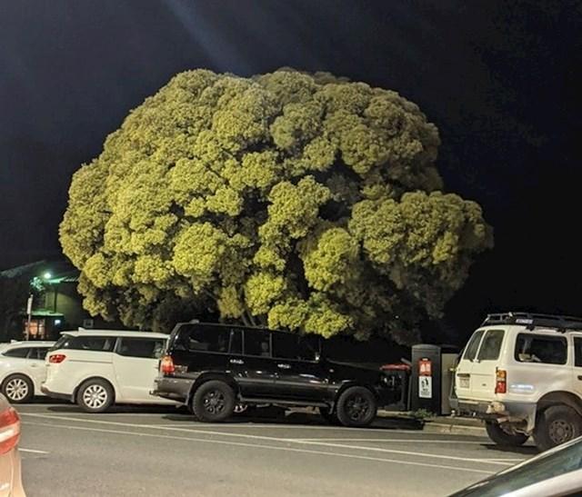 1. Drvo koje izgleda kao brokula