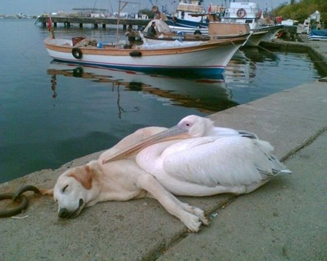 1. Ovaj pas lutalica i pelikan sprijateljili su se i družili se svaki dan. Kasnije, čovjek koji je ovo fotografirao je udomio psa, ali i dalje ga dovodi svaki dan da se druži sa svojim prijateljem.