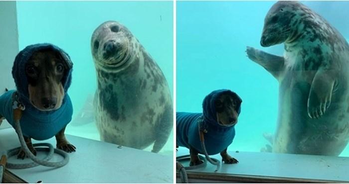 Nema ništa slađe od jazavčara i tuljanice koji su se zaljubili na prvi pogled