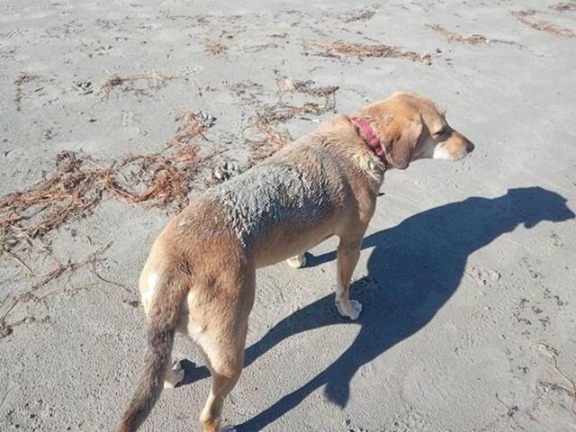 """""""Ovo na leđima mojeg psa možda izgleda kao stvrdnuti pijesak, no zapravo je to mast trule ribe koju je pronašla na plaži. Ovo se dogodilo na našem putovanju obalom, 3 dana i 5 tuširanja nakon - i dalje smrdi."""""""