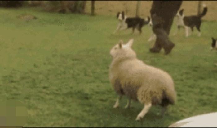 Ovako to izgleda kad ovca umisli da je pas