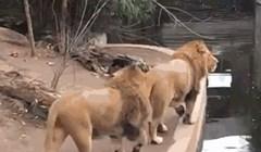 Ako ste mislili da su sve životinje spretne, ovaj lav dokazat će vam suprotno